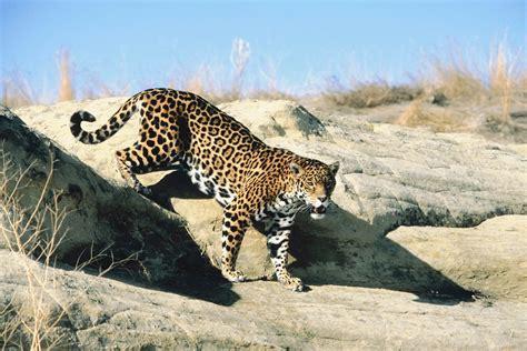 jaguar in arizona animales en peligro de extinci 243 n muestra apreciado