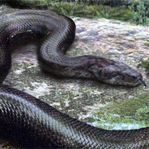Parfum Roda Hijau ular terbesar di dunia fakta info unik pasangiklanmurahlaris