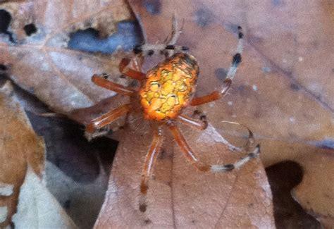pumpkin spider pumpkin spider aka marbled orbweaver what s that bug