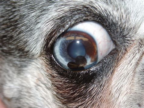 eye diseases in dogs eye disease in dogs golden retriever uveitis