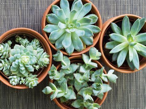 piante grasse in casa piante grasse come curarle riprodurle e farle fiorire