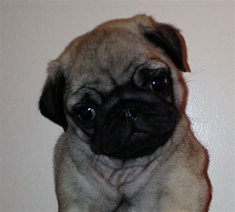 dogs pugs for sale fawn pug puppies for sale ready next week liverpool merseyside pets4homes