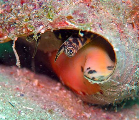 queen couch microalgae increases the survival of juvenile queen conch