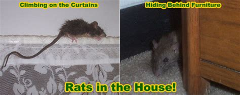 how to get rid of rats in house how to remove and get rid of rats in a house or home