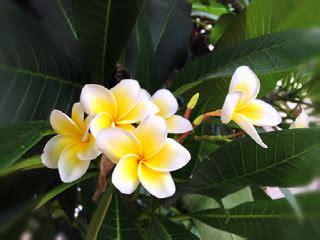 Pupuk Untuk Bunga Kamboja menanam bunga kamboja dengan stek batang tanaman