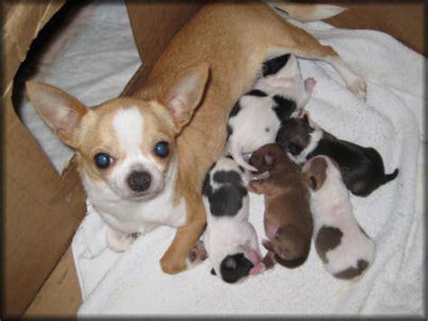 how many puppies can a chihuahua can chihuahuas give birth naturally canidoit org