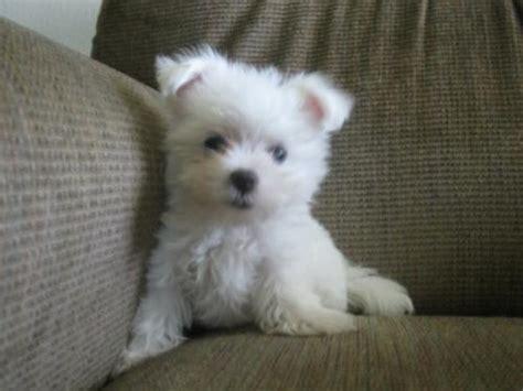 maltese puppies for sale in missouri missouri for sale puppies for sale