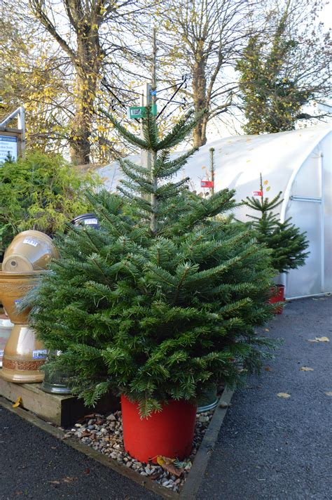 christmas trees how to survive christmas brundall home