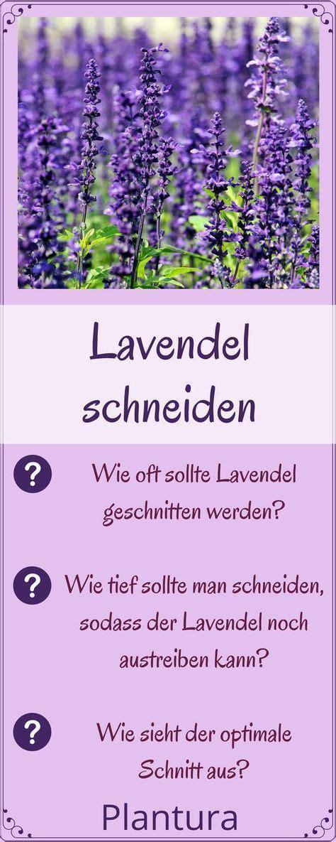 Lavendel Wann Schneiden 5405 by Lavendel Schneiden Wann Und Wie Zur 252 Ckschneiden Garten