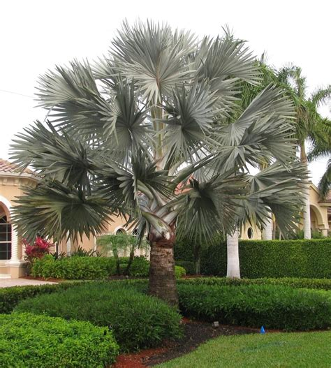Photo of the entire plant of Bismarck Palm (Bismarckia