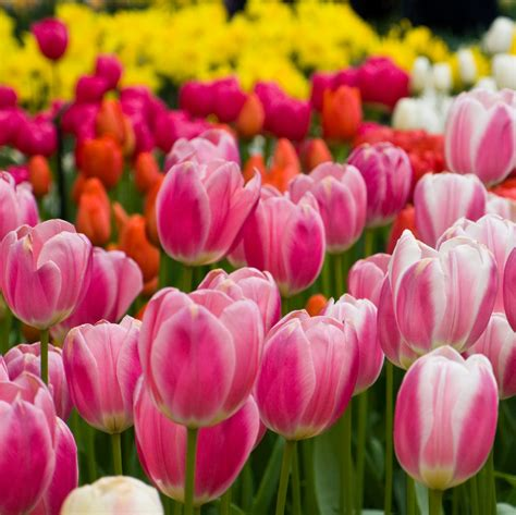 Spring Tips by Tulip Fertilizer How And When To Fertilize Tulips