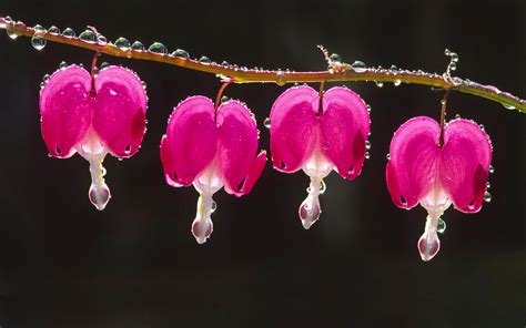 bleeding heart wallpaper wallpapersafari