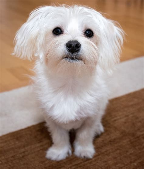 puppy health maltese health problems