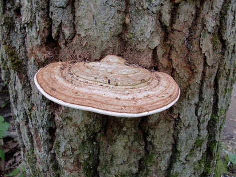 you can find conks on your trees in the woods wtip