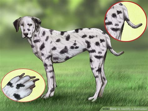 Large Sheds 4 ways to identify a dalmatian wikihow