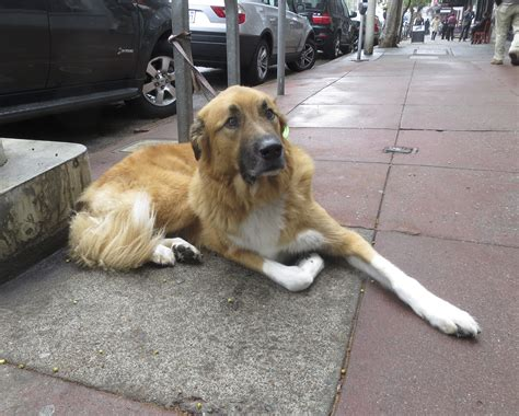 golden retriever mix german shepherd 301 moved permanently