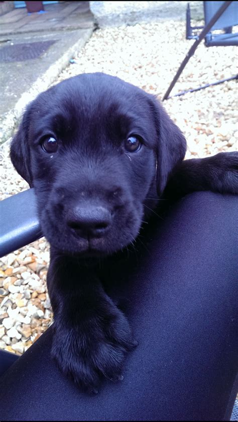 10 week lab puppy 10 week black labrador puppy for sale yeovil somerset pets4homes