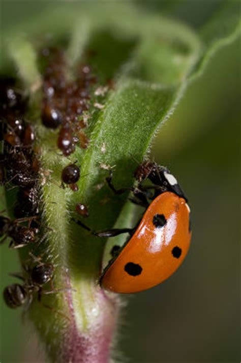 do ants eat aphids a ladybug aphids the ants are not amused photo