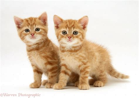 Ginger kittens photo WP24851