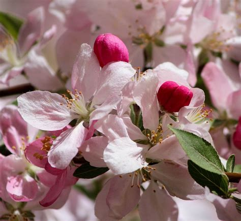 free photo japanese cherry blossoms free image on