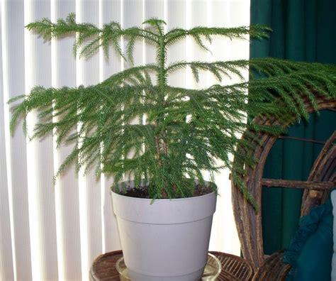 Tanaman Hias Cemara Norflok 50 tanaman hias yang ada di berbagai negara satu jam