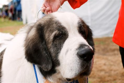 all about dogs great pyrenees information great pic pyrenees great pyrenees pictures breeds picture