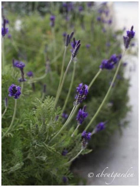 pianta fiorita tutto l anno lavandula x christiana fiorita tutto l anno paperblog