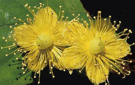 iperico fiore fiore di iperico dove si trova fare di una mosca