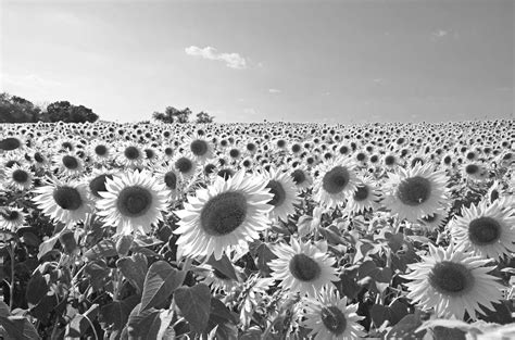 colby farms sunflower field newbury ma black and white