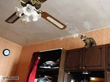 Cat Swinging From Ceiling Fan by The Gallery For Gt Animated Gif Animals
