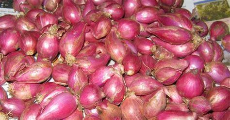 Bibit Bawang Merah Di Probolinggo cara memilih bibit bawang merah pertanian