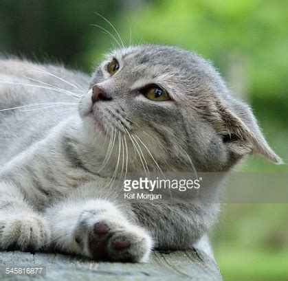 with ears back up of gray tabby cat with ears pinned back laying on wood surface stock photo