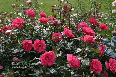 William Shakespeare 4313 by розовый сад создание и обустройство розария названия и
