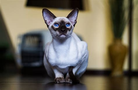 Cat Breeds That Dont Shed by Cat Breeds That Don T Shed Pawculture