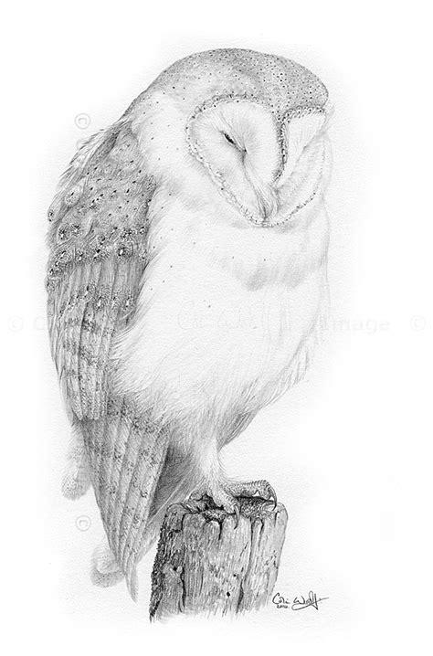 New Pencil Study Barn Owl The Hazel Tree Barn Owl Drawing