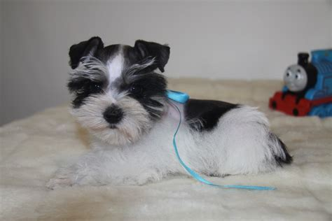 puppies oklahoma teacup and miniature schnauzer puppies for sale oklahoma