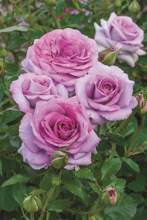 Roses Are new fragrant and disease resistant roses are now