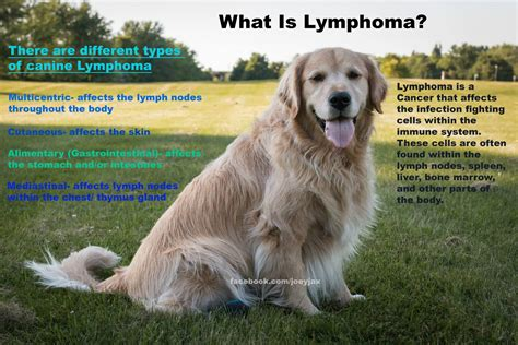 spleen cancer in golden retrievers lymphoma golden retriever rescue of southern maryland