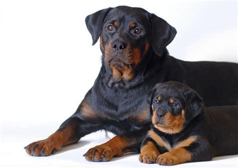 perro rottweiler precio rottweiler su relaci 243 n con los ni 241 os y en familia wikipets