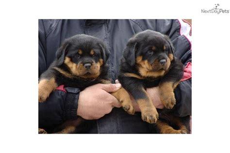 kelpie x rottweiler puppies for sale border collie x kelpie puppies for sale in goondiwindi queensland breeds picture