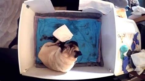 pug giving birth pug giving birth story 4 hour time lapse kennel club breeder gopro sweetpea