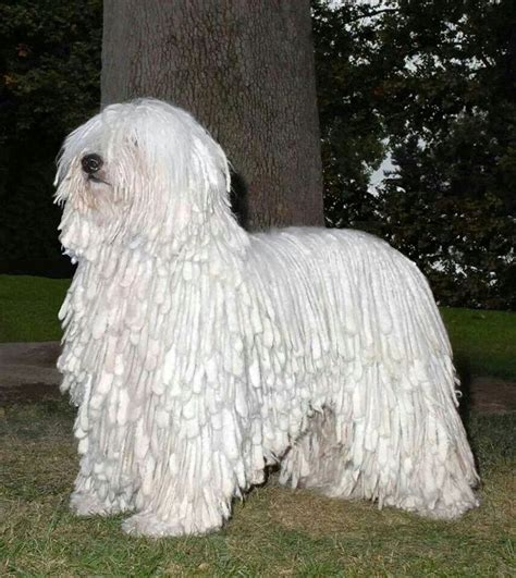 mop breed looks like a mop breeds picture