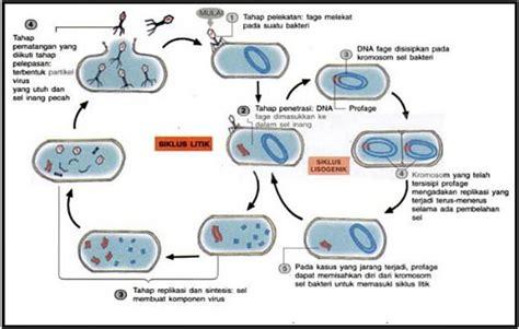membuat replikasi virus tahapan reproduksi virus secara litik dan lisogenik