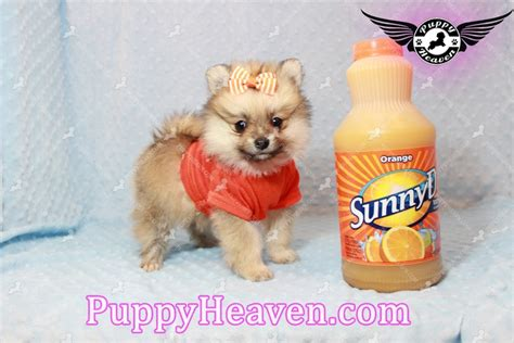 pomeranian puppies for sale in las vegas pomeranian puppy pomeranian puppy for sale in las vegas nv breeds picture