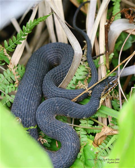 Garden Snake Island Island Banded Water Snake Flickr Photo