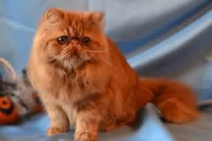 gatti persiani bologna allevamenti in emilia romagna gattipersiani it gatti