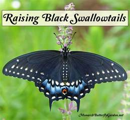 Container Gardening Book - adventures in raising the eastern black swallowtail butterfly