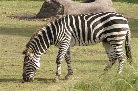 imagenes de animales cebra cebra 161 unas curiosas rayas