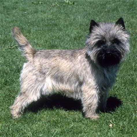 is it ok to cut a cairn terrieris har short then re grow it 90 best cuddly dogs images on pinterest little dogs