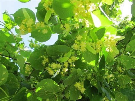 tiglio fiori infuso di tiglio infusi propriet 224 dell infuso di tiglio